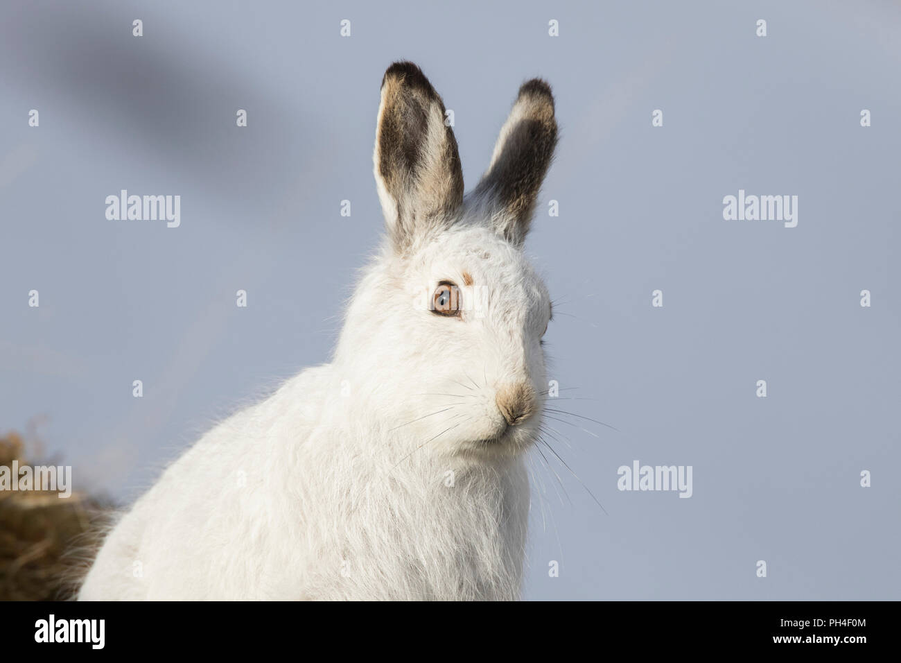 Mountain Hare (Lepus timidus). Portrait of adult in white winter coat (pelage). Cairngorms National Park, Scotland - Stock Image