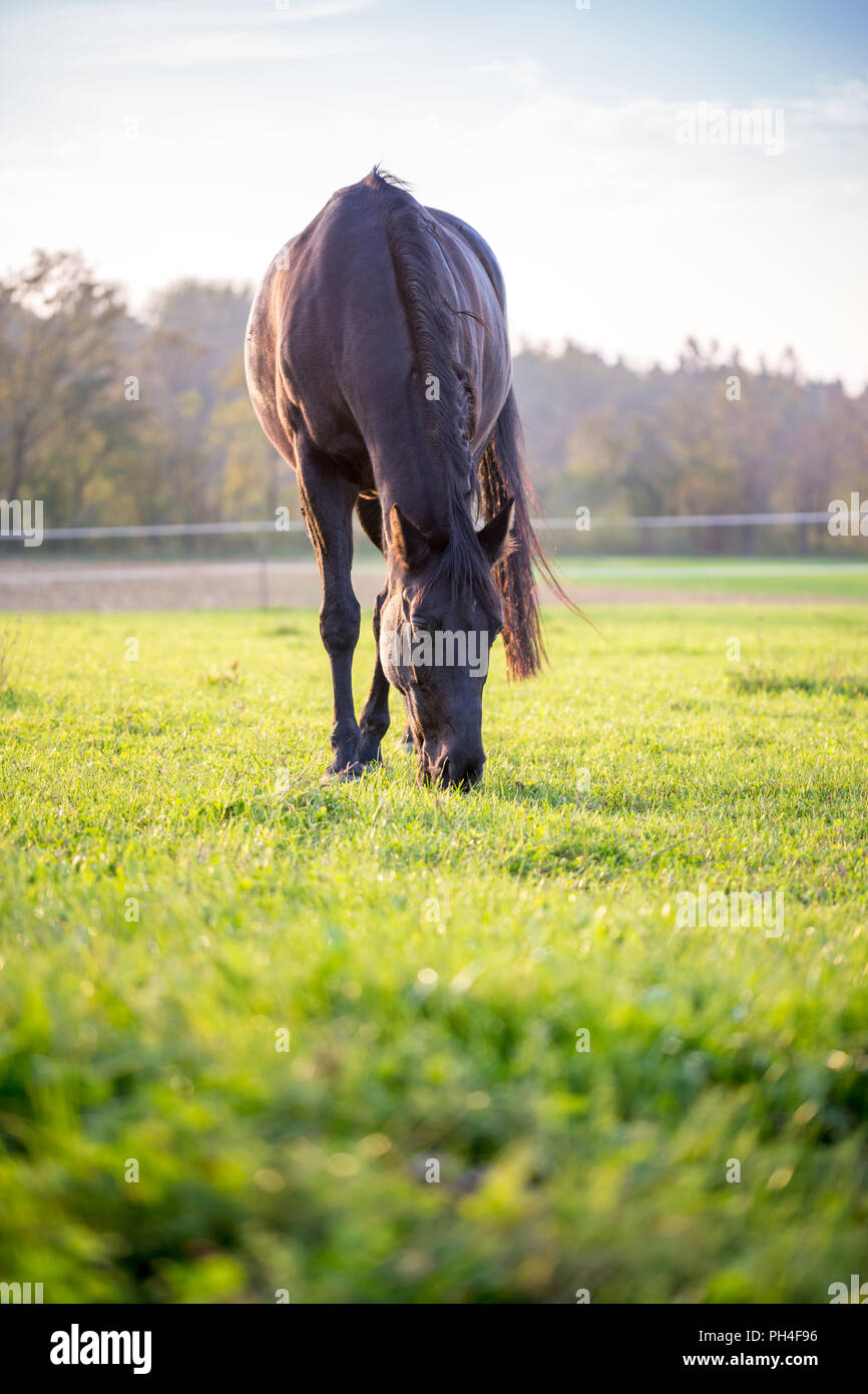 Macro Big Black Stallion Grazing at Wide Green Pasture on Early Morning Time. - Stock Image