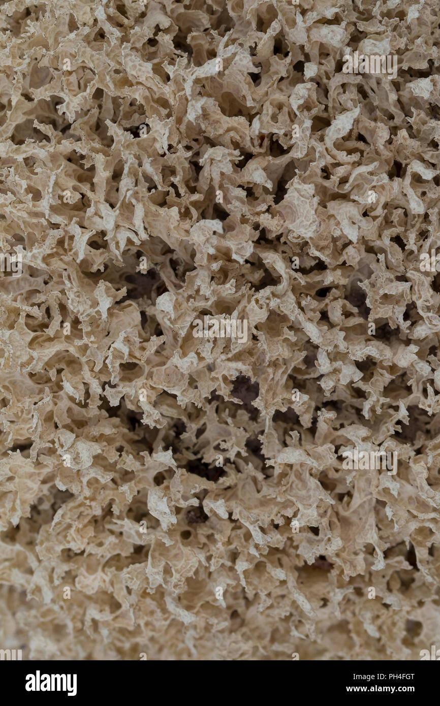 Iceland moss (Cetraria islandica). Sweden.Islaendisches Moos, Cetraria islandica, Dalarna, Schweden - Stock Image