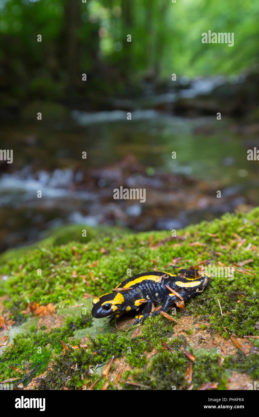 Fire Salamander (Salamandra salamandra) on moss near a stream. Harz National Park, Saxony-Anhalt, Germany - Stock Image