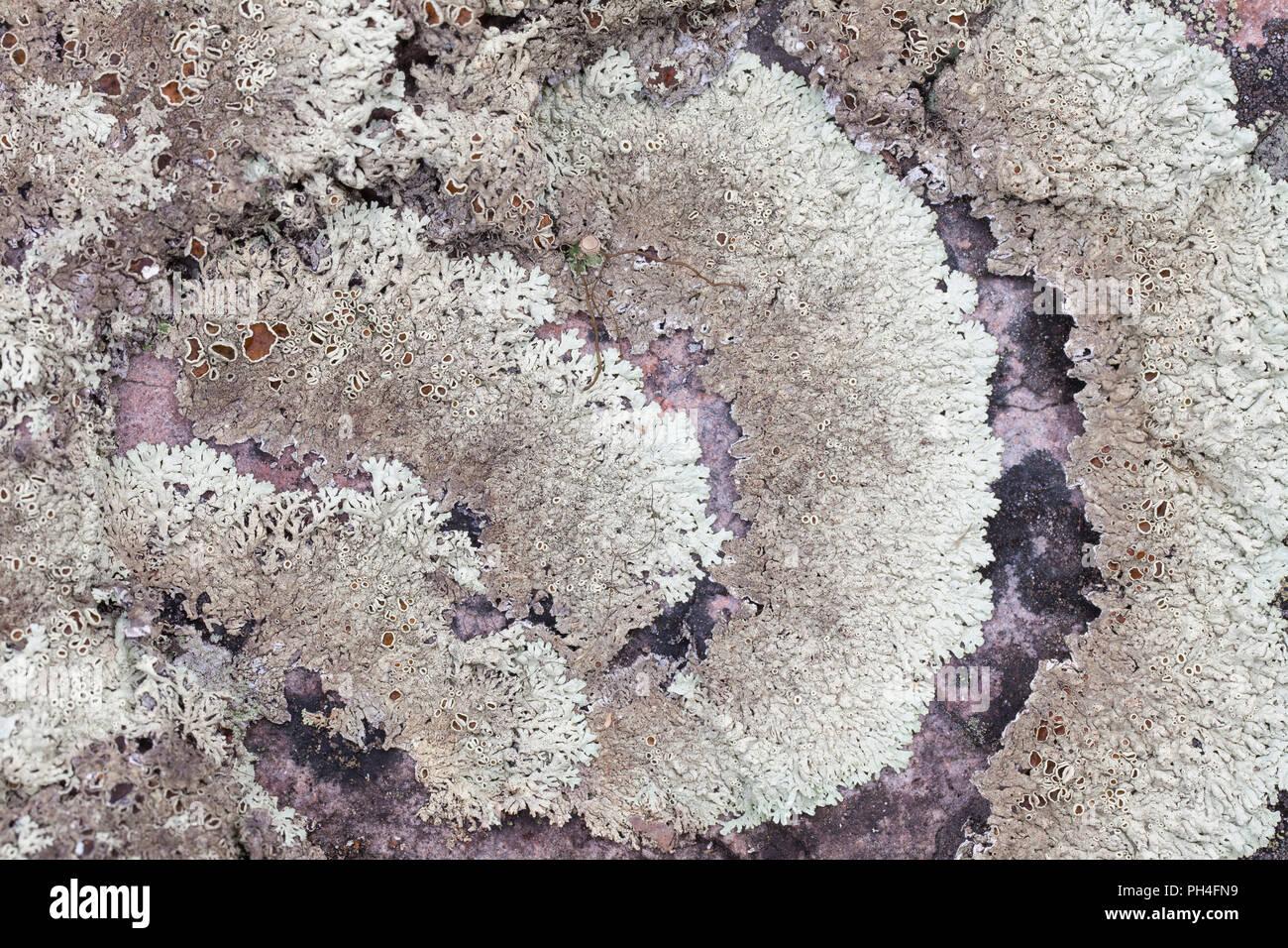 Lichen (Hypogymnia physodes). Dalarna, Sweden - Stock Image