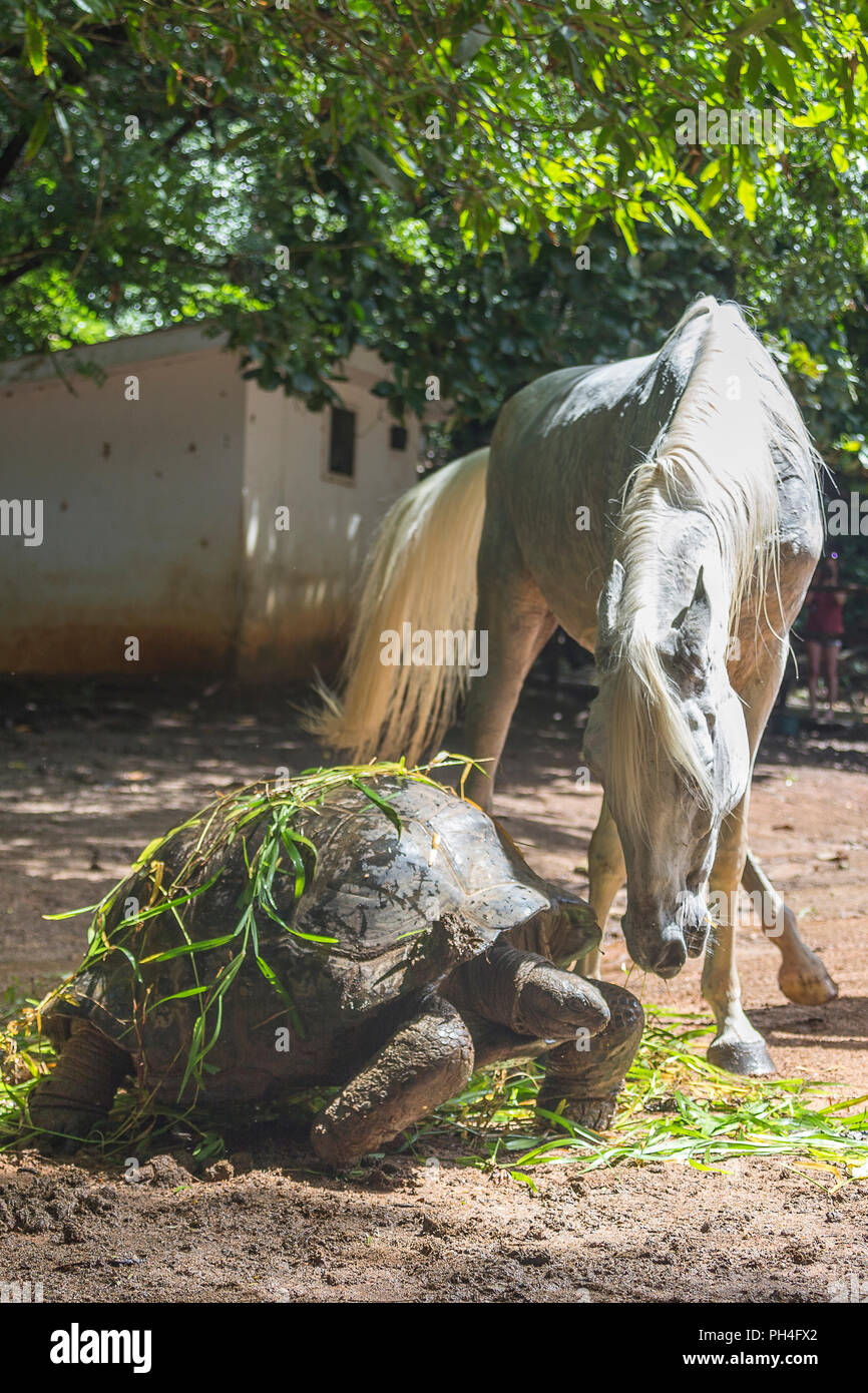 Arabian horse. Gray mare interacting with Seychelles Giant Tortoise in a paddock. Seychelles - Stock Image