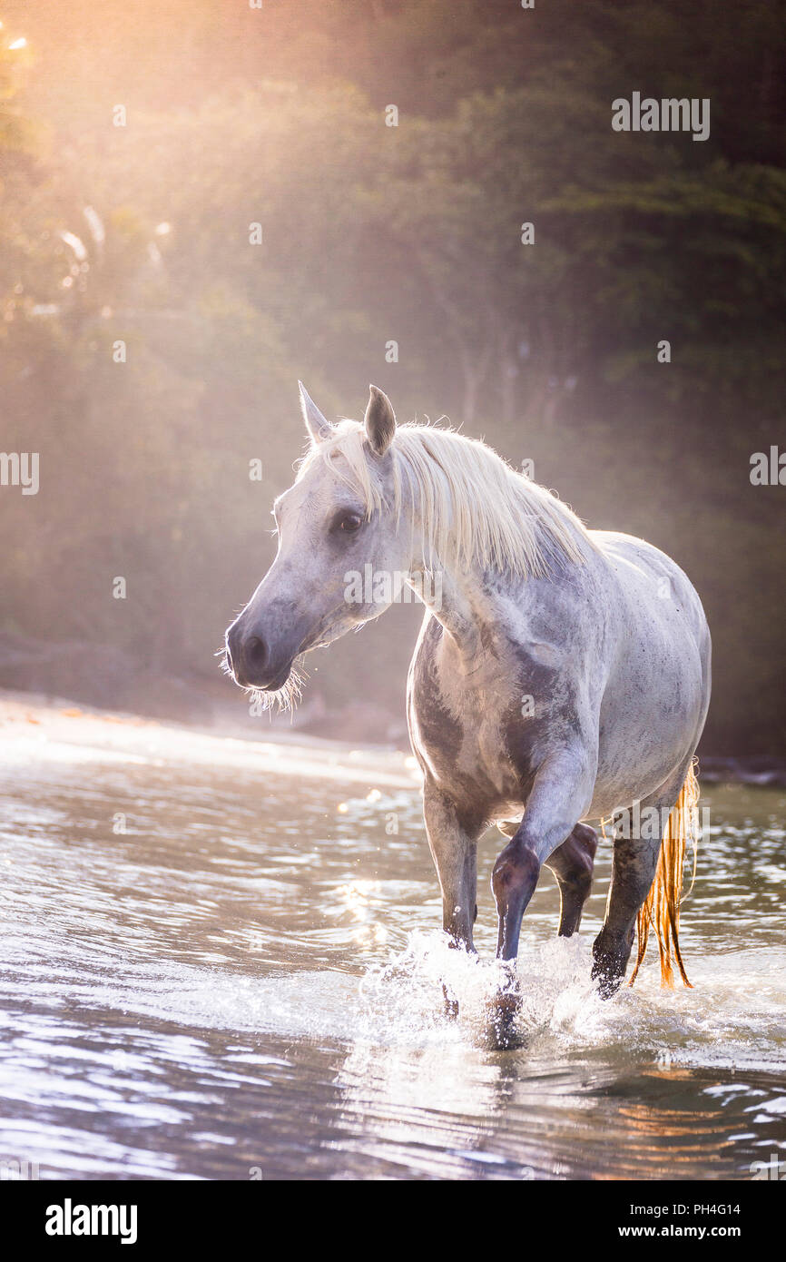 Arabian horse. Gray mare walking in the sea, next to a tropical beach. Seychelles - Stock Image