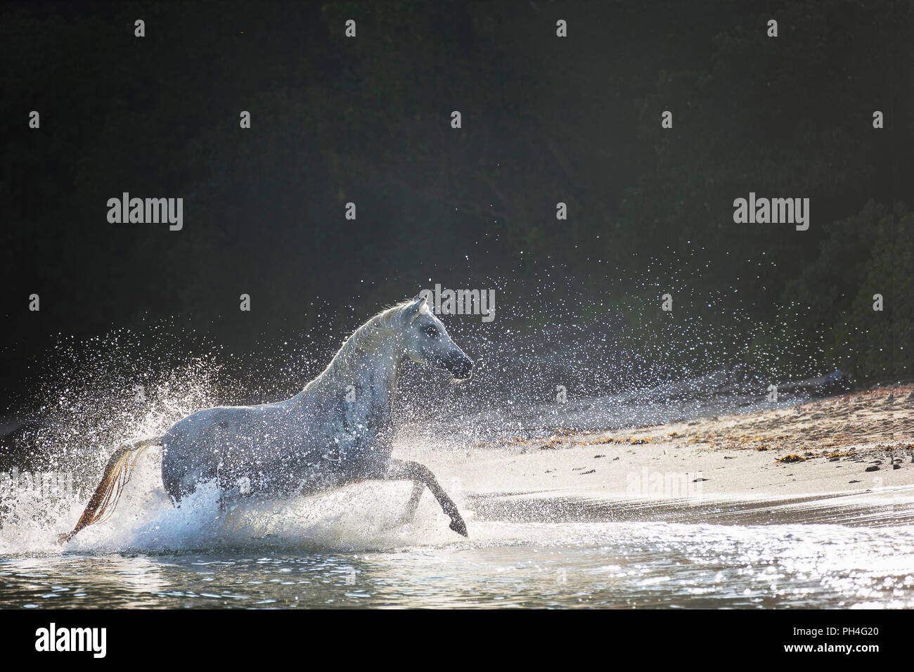 Arabian horse. Gray mare galloping out of the sea onto a tropical beach. Seychelles - Stock Image