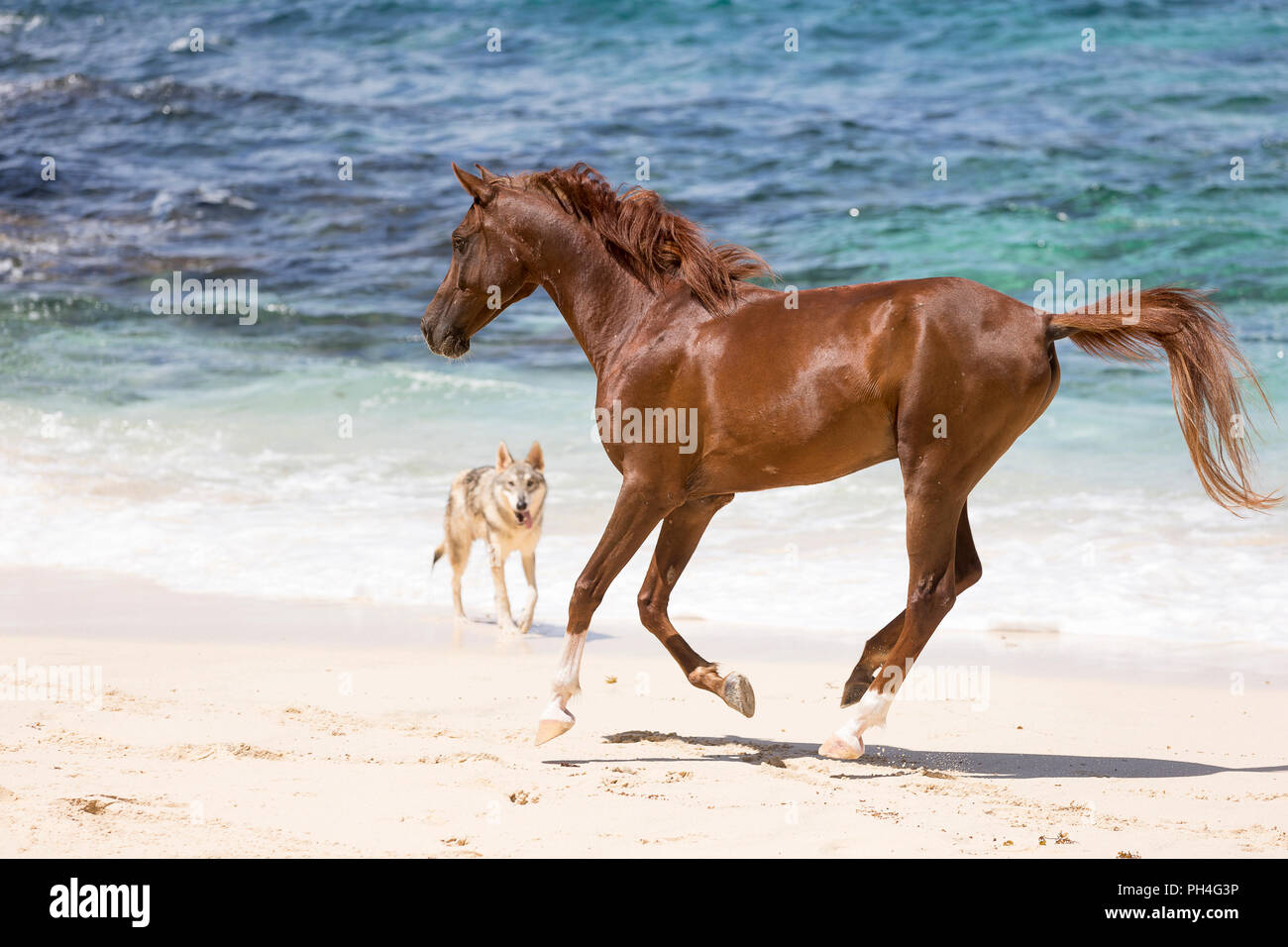 Arabian horse. Chestnut gelding galloping on a tropical beach, watched by Tamaskan dog. Seychelles - Stock Image