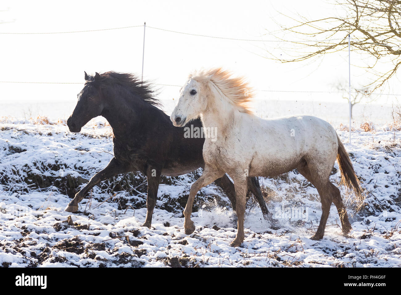 Pure Spanish Horse, Andalusian. Pair of dirty adults galloping on  pasture in winter. Germany - Stock Image