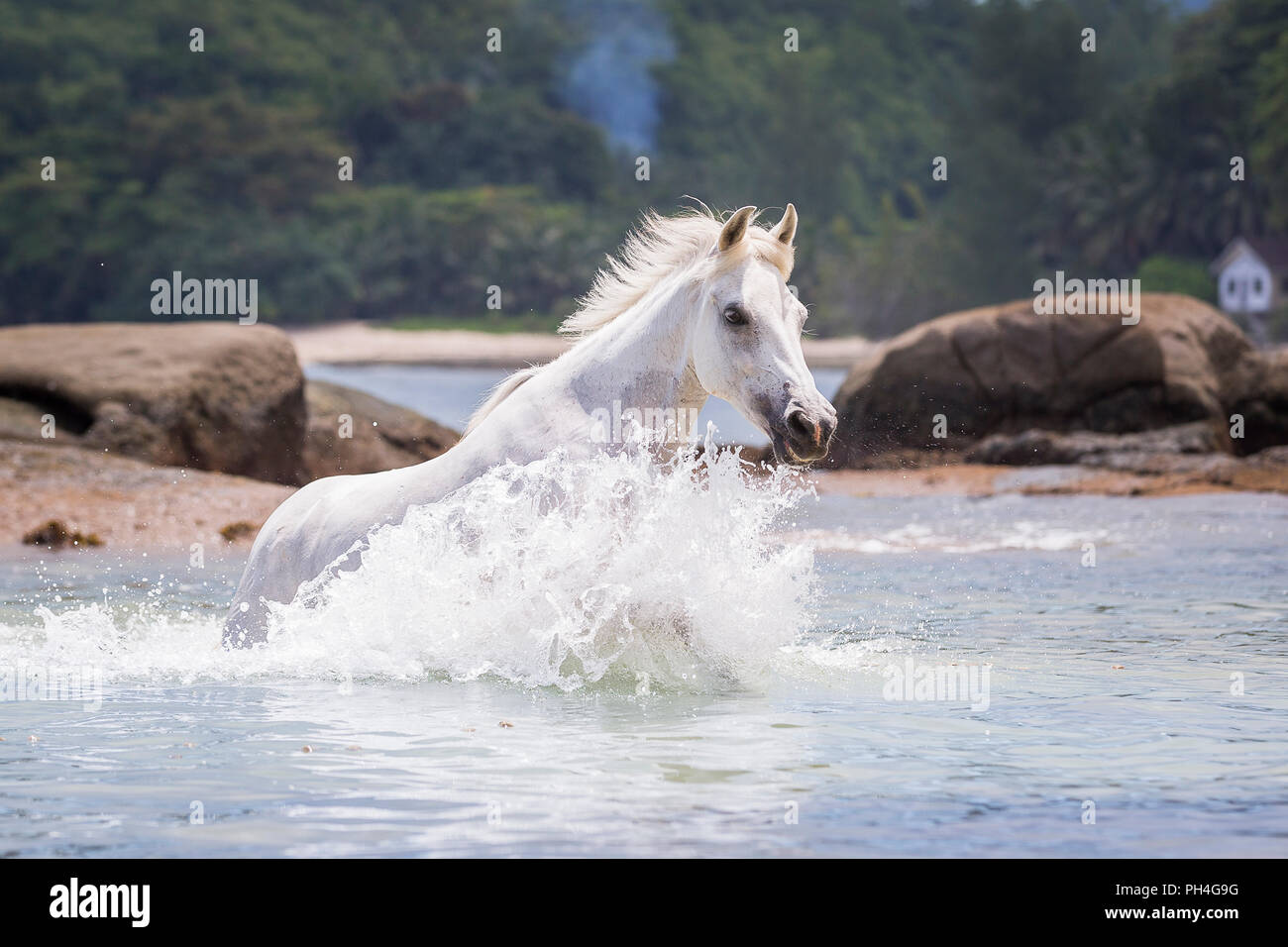 Seychelles Pony. Gray adult mare in the sea. Seychelles - Stock Image