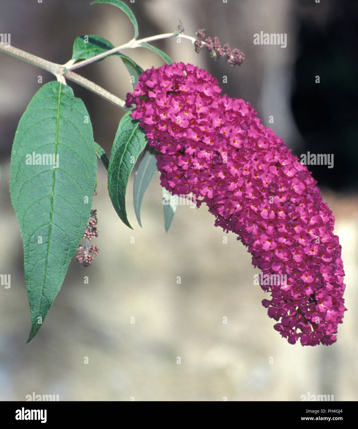 BUDDLEIA DAVIDII (BUTTERFLY BUSH OR SUMMER LILAC) - Stock Image