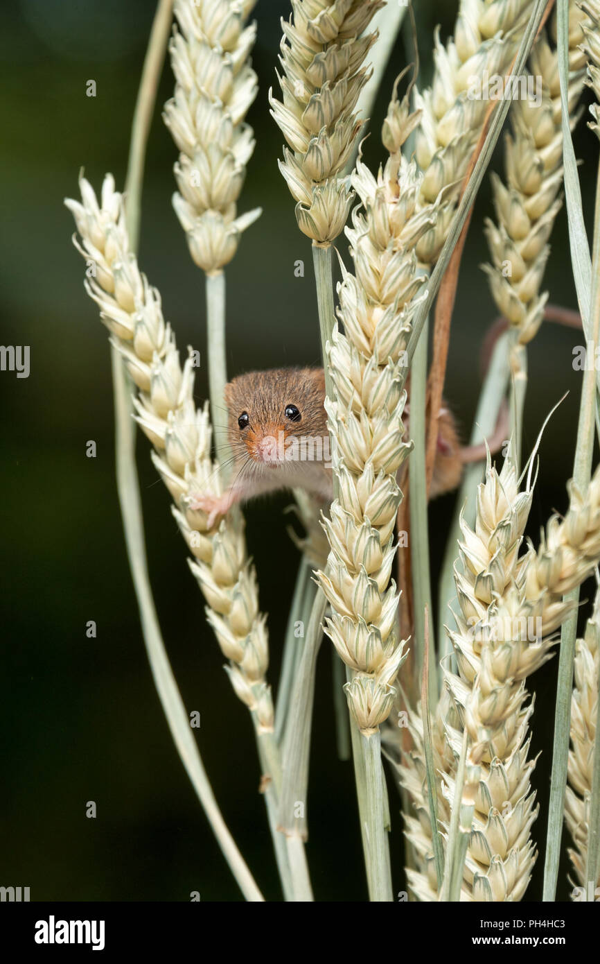 An upright photograph of a small harvest mouse. The rodent is balanced on ears of corn and it is peering out facing forward from amongst the stems. - Stock Image
