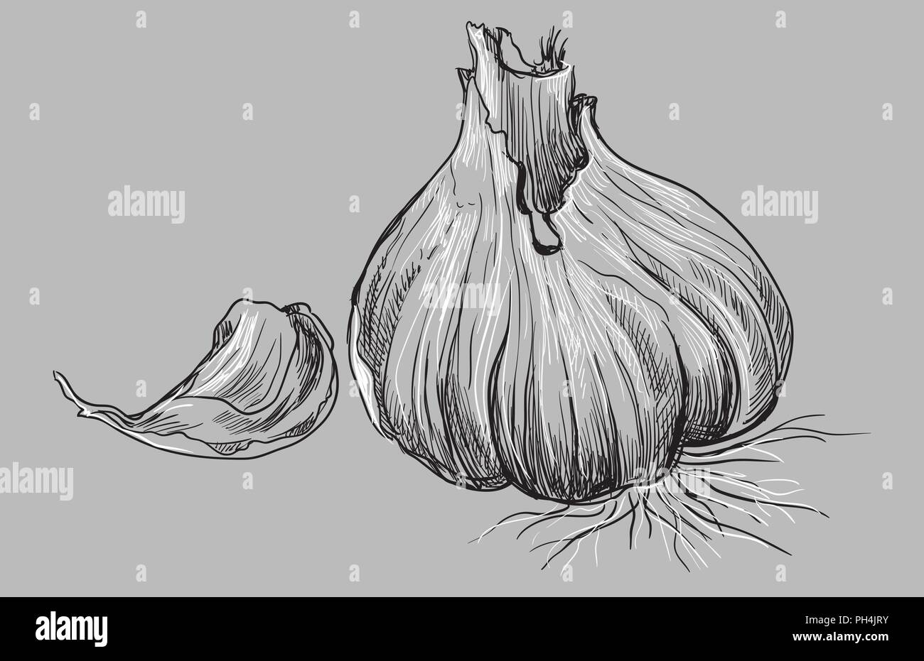 Hand drawn vegetable-garlic. Vector monochrome illustration isolated on grey background. - Stock Vector