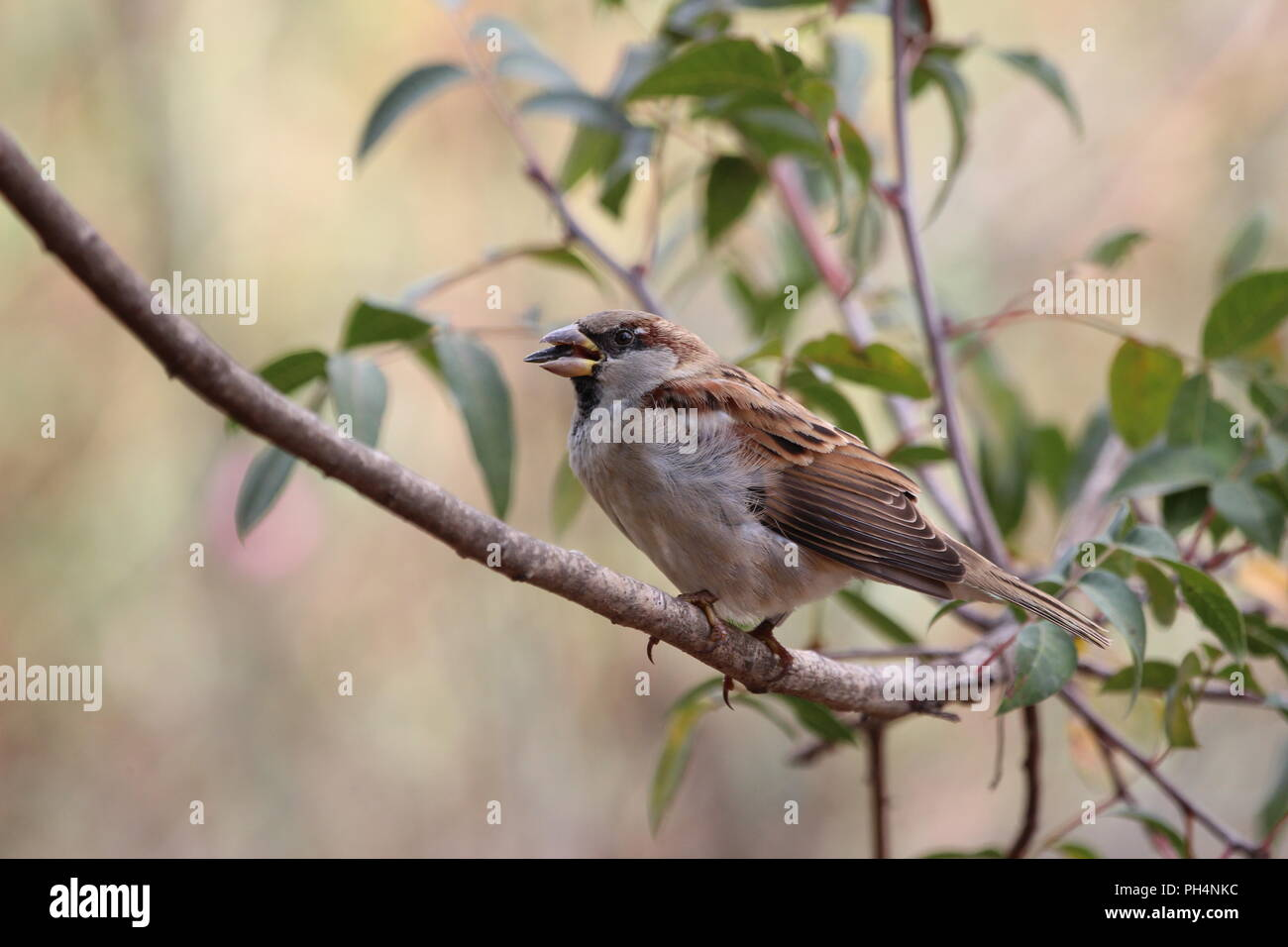 A sparrow on a branch, cracking cores - Stock Image