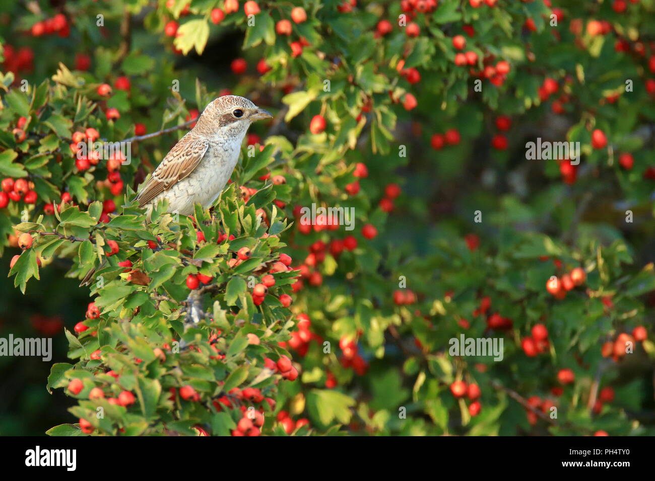 Woodchat shrike young on hawthorn tree - Stock Image