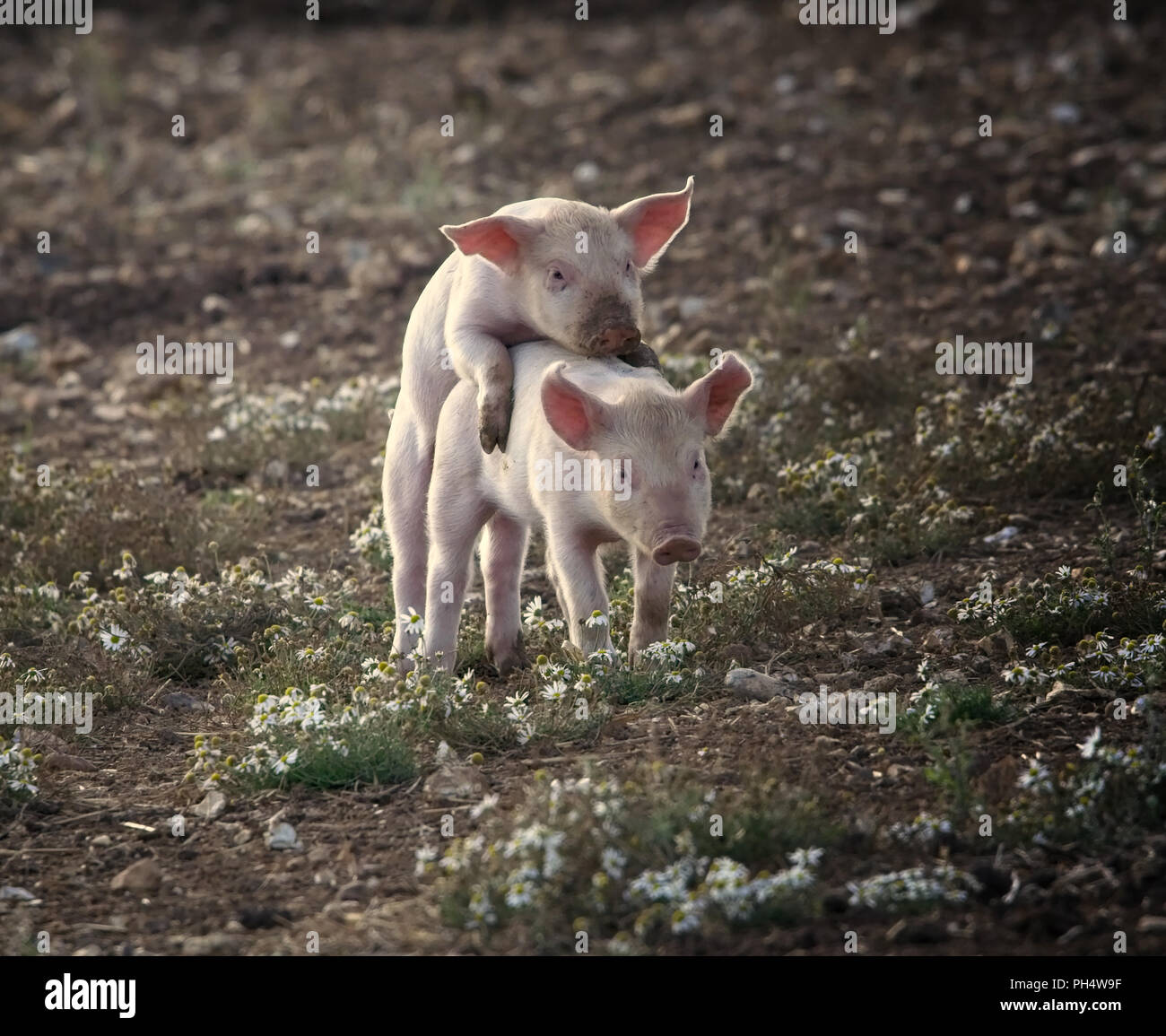 Piglets and Pigs - Stock Image