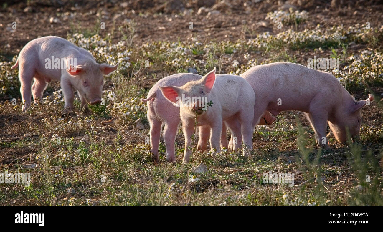 Four Piglets - Stock Image