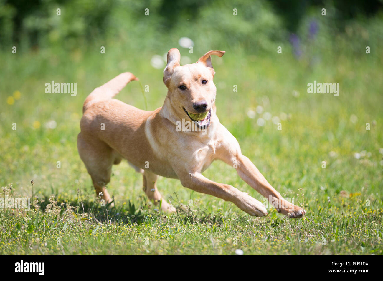 Labrador Retriever. Male dog Kelo, trained as conservation dog for the protection of loggerhead turtles, running on a meadow. Switzerland - Stock Image