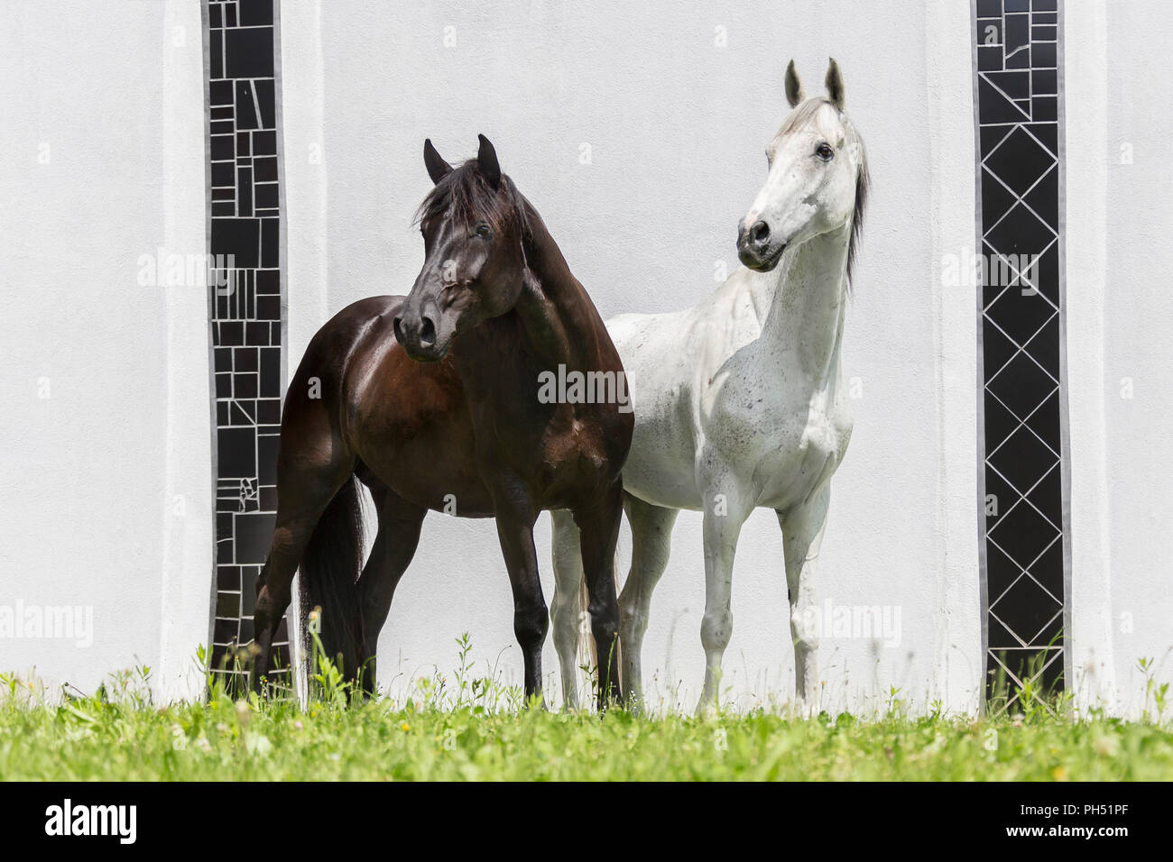 Thoroughbred and Austrian Warmblood. Gray gelding standing, seen against a white background. Austria - Stock Image