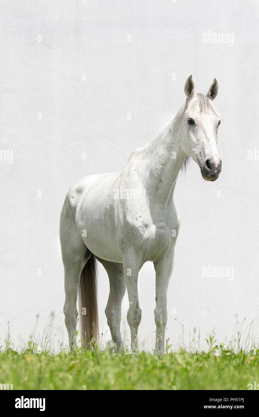 Thoroughbred. Gray gelding standing, seen against a white background. Austria - Stock Image
