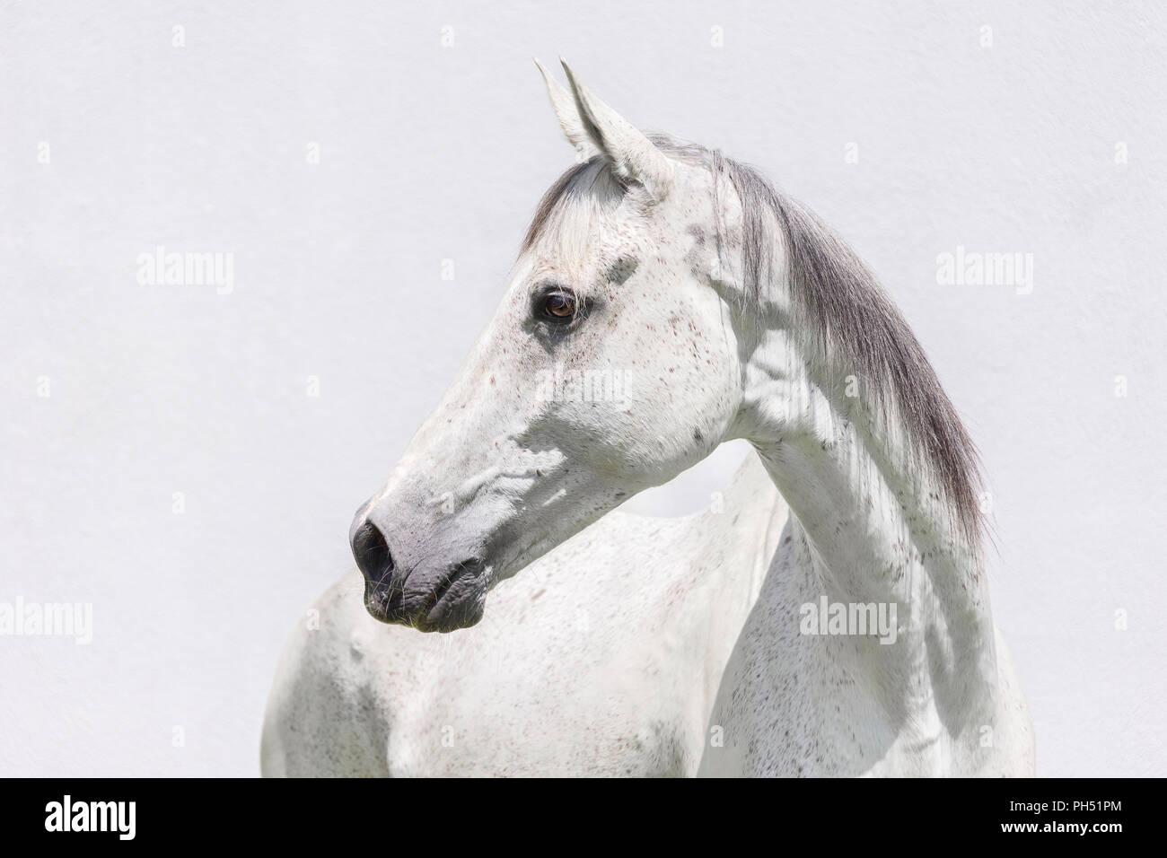 Thoroughbred. Portrait of gray gelding, seen against a white background. Austria - Stock Image