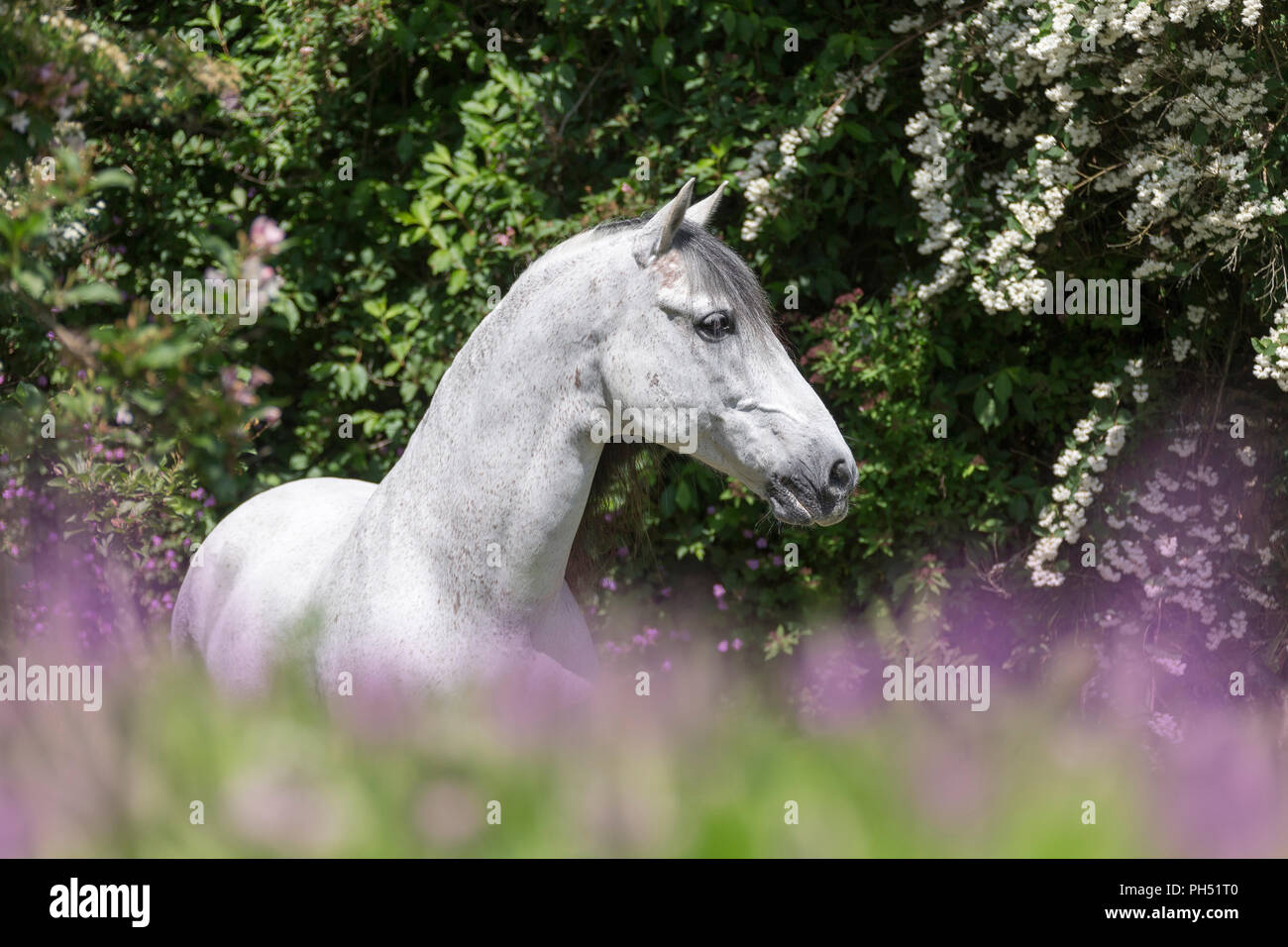 Pure Spanish Horse, PRE, Andalusian Horse. Grey stallion standing on a flowering meadow with hawthorn in background. Austria - Stock Image