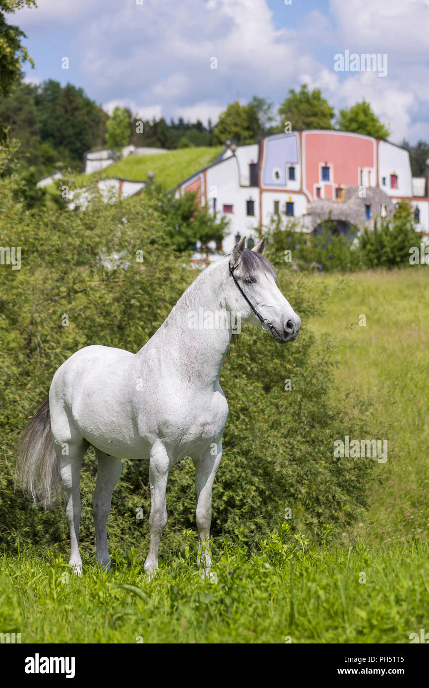 Pure Spanish Horse, PRE, Andalusian Horse. Grey stallion standing on a meadow with hotel and spa Rogner Bad Blumenau (designed by Friedensreich Hundertwasser) in background. Styria, Austria - Stock Image