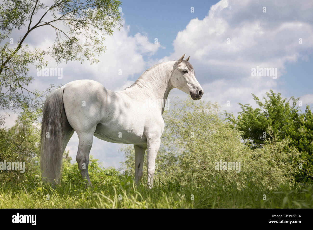 Pure Spanish Horse, PRE, Andalusian Horse. Grey stallion standing on a meadow. Austria - Stock Image
