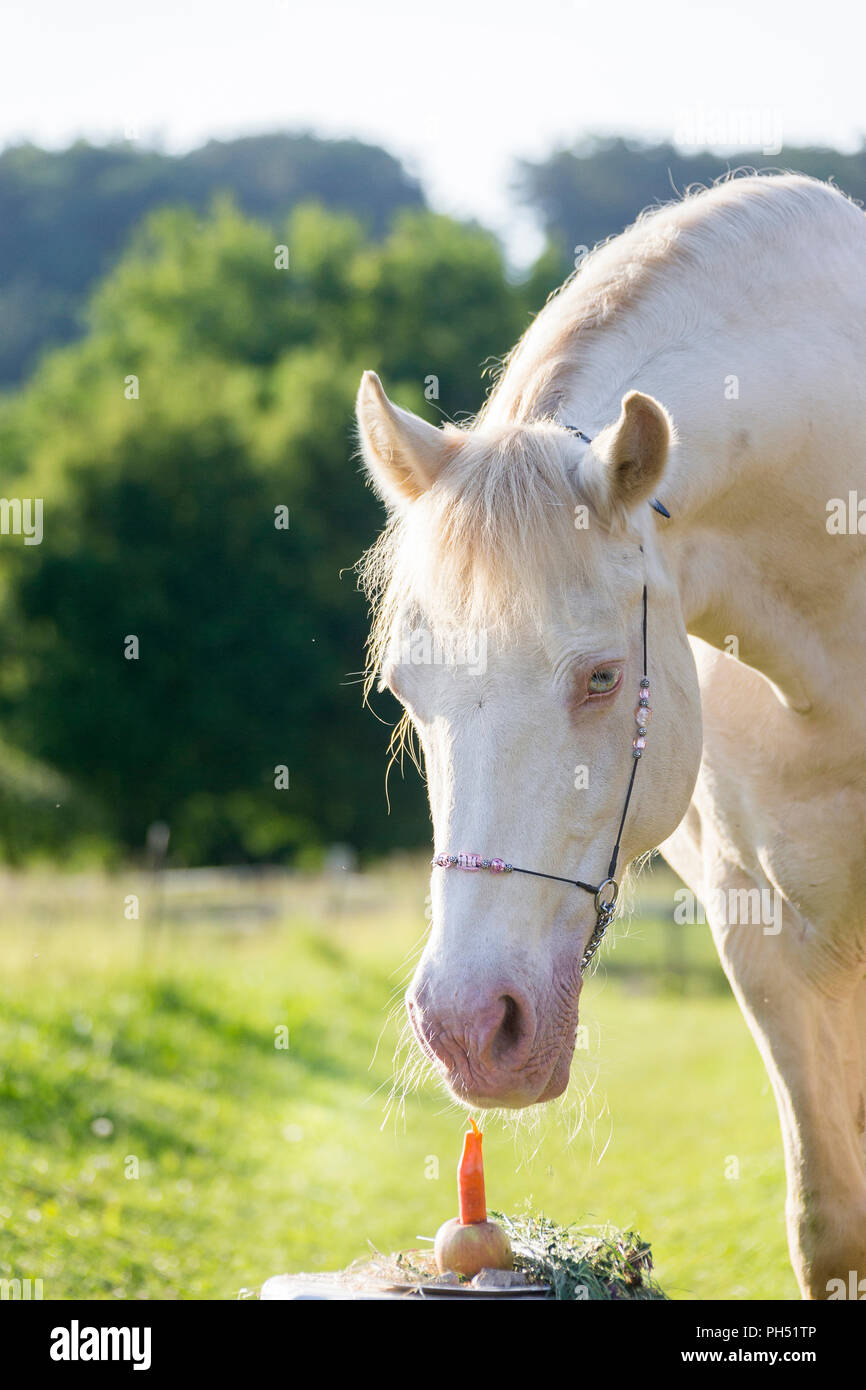 Welsh Cob (Section D). Cremello mare looking at its birthday cake. Austria - Stock Image