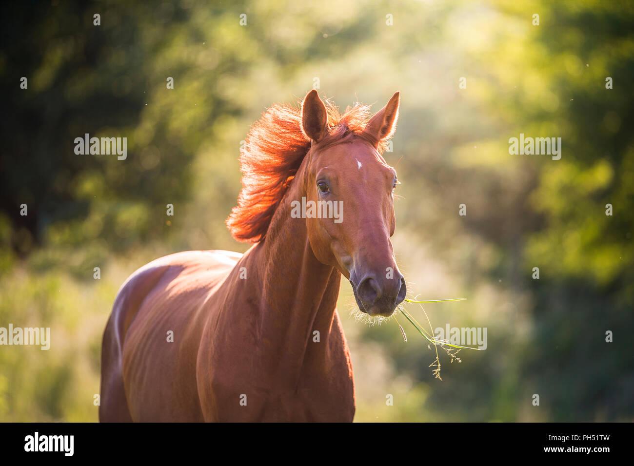 Austrian Warmblood. Portrait of chestnut gelding on a meadow. Austria - Stock Image