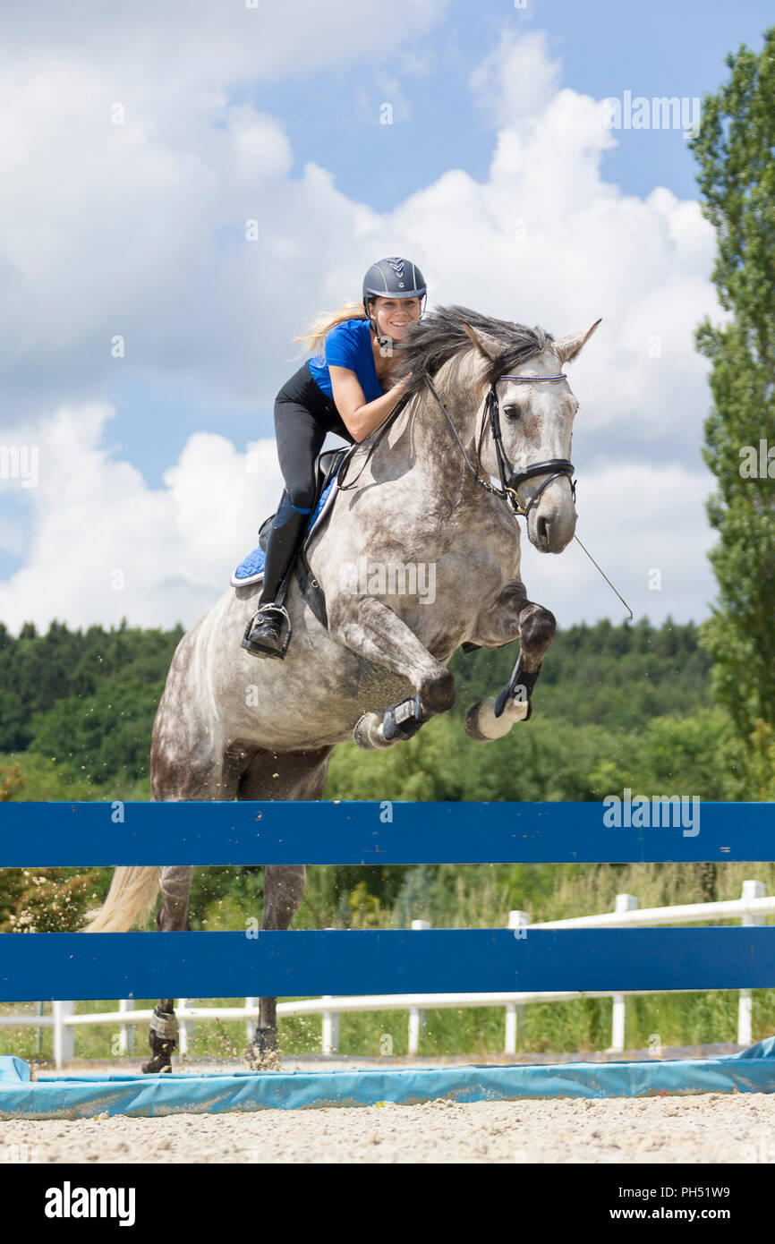 Austrian Warmblood. Gray mare with rider jumping over an obstacle. Austria - Stock Image