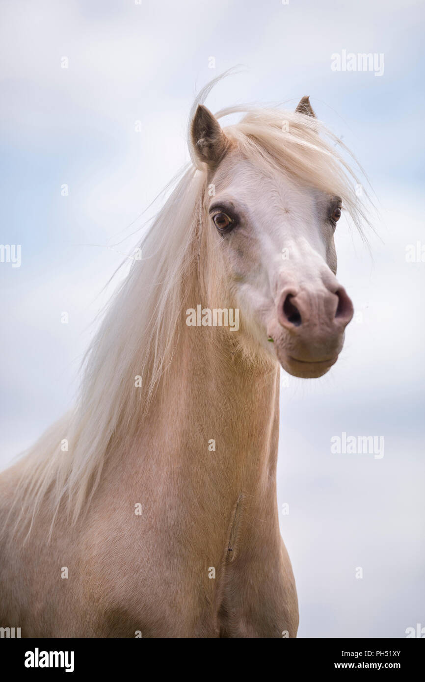 Welsh Mountain Pony. Portrait of palomino, seen against the sky. Germany - Stock Image