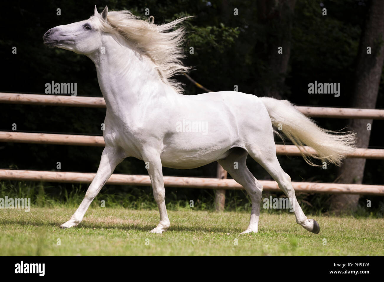 Lusitano. Gray stallion galloping on a pasture. Germany - Stock Image