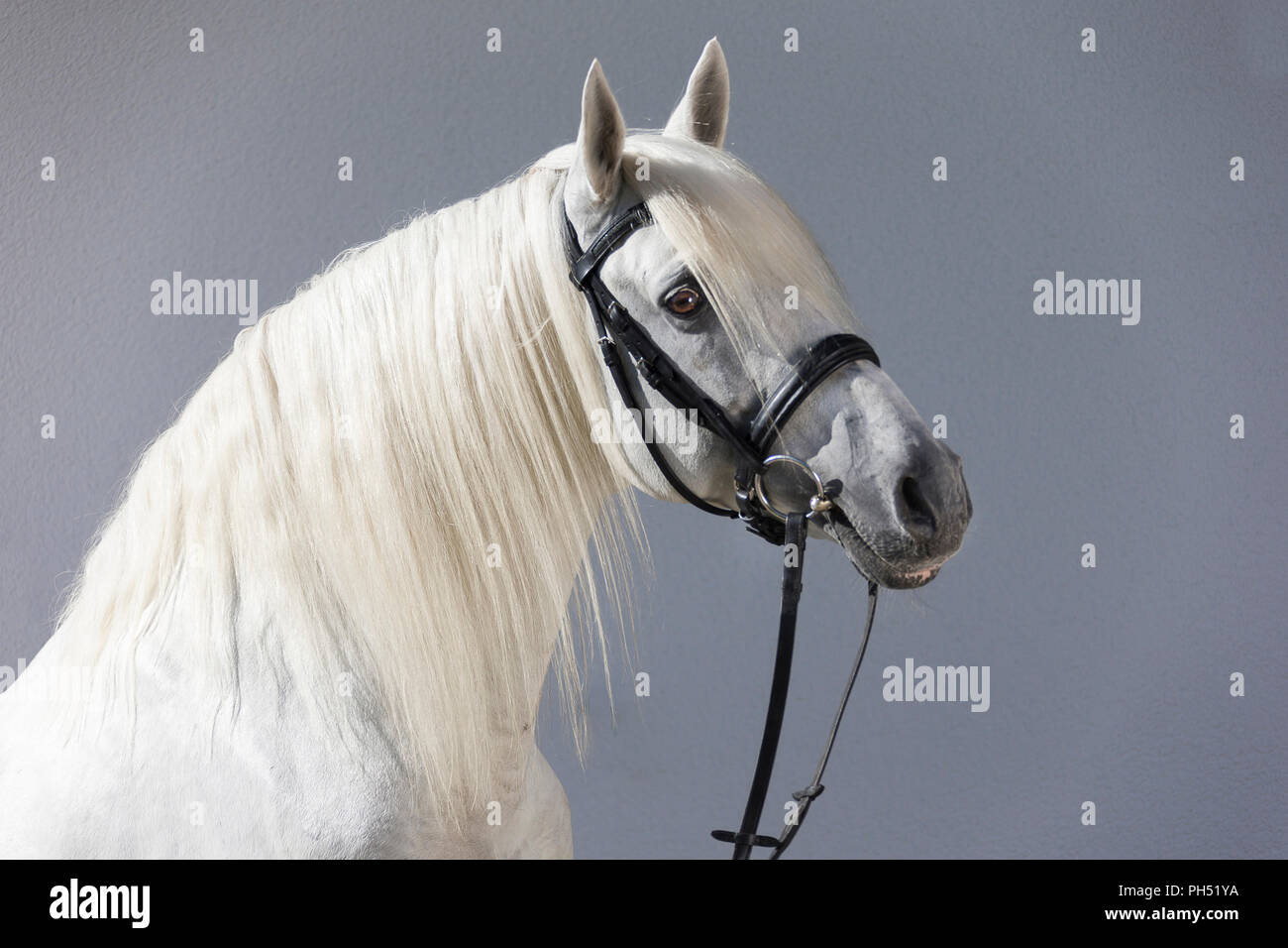 Lusitano. Portrait of gray stallion with tack. Germany - Stock Image