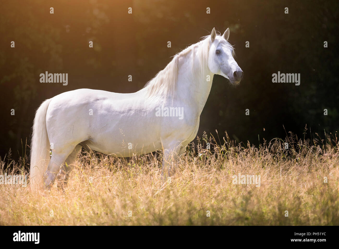 Lusitano. Gray stallion standing on a meadow in summer. Germany - Stock Image
