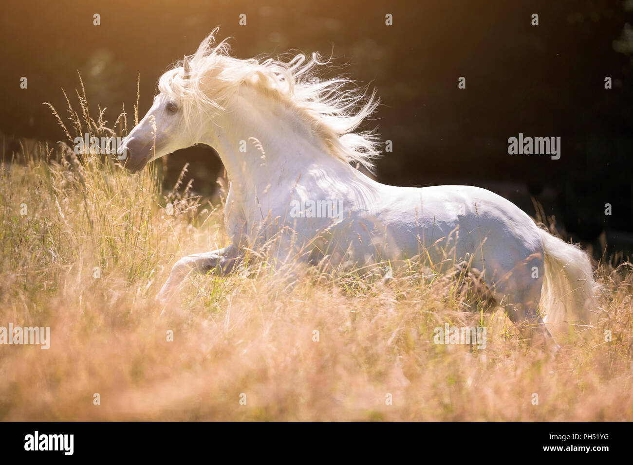 Lusitano. Gray stallion galloping on a meadow in summer. Germany - Stock Image