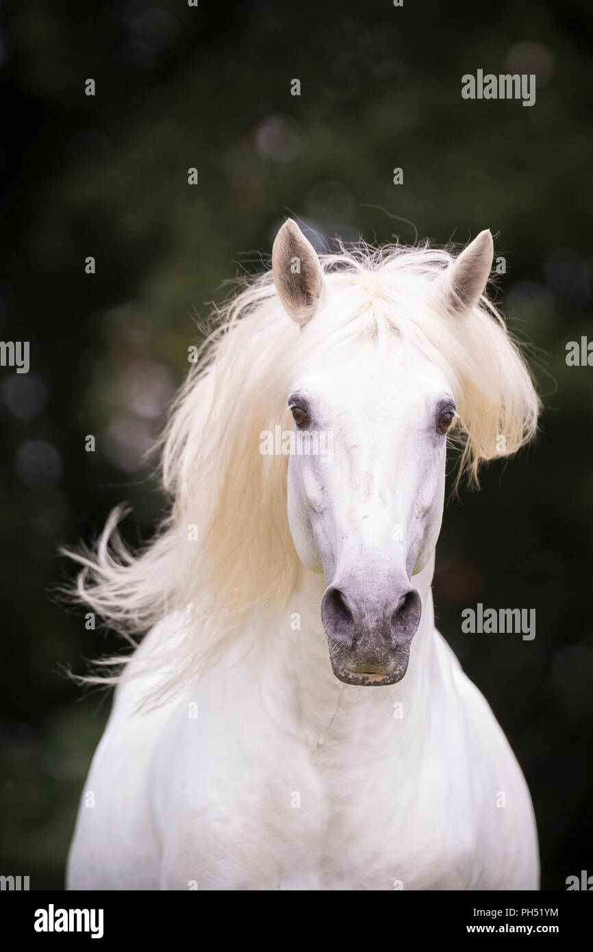 Lusitano. Portrait of gray stallion with mane flowing, seen against a dark background. Germany - Stock Image