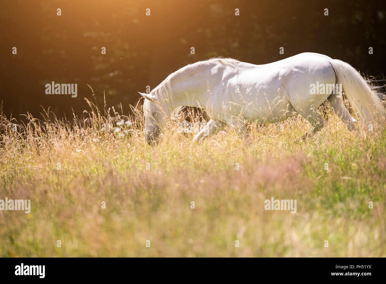 Lusitano. Gray stallion walking on a meadow in summer. Germany - Stock Image