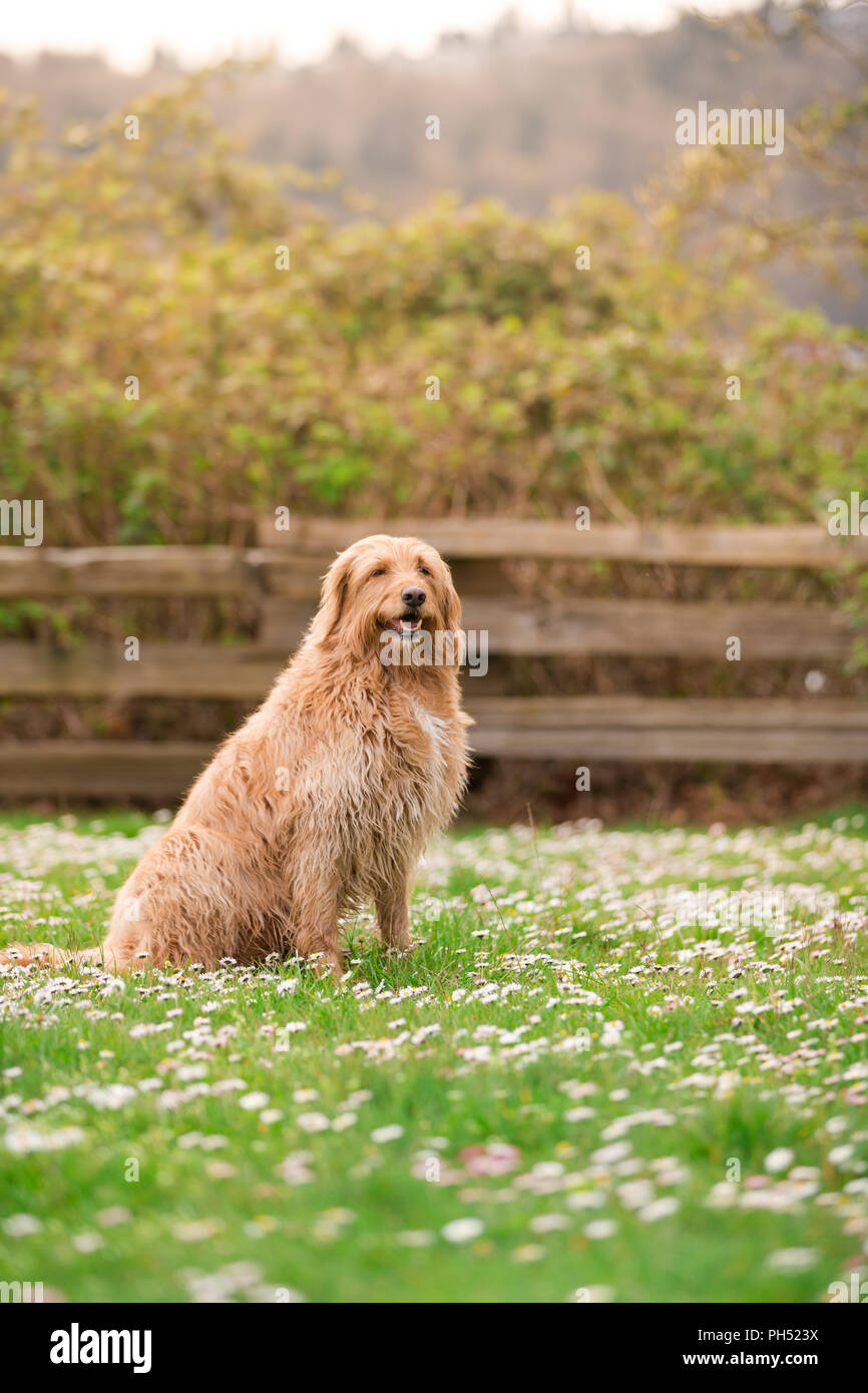 Happy dog lying down on grass. White labradoodle resting on green grass. Cute dog relaxing on backyard garden. White dog lying grass. - Stock Image