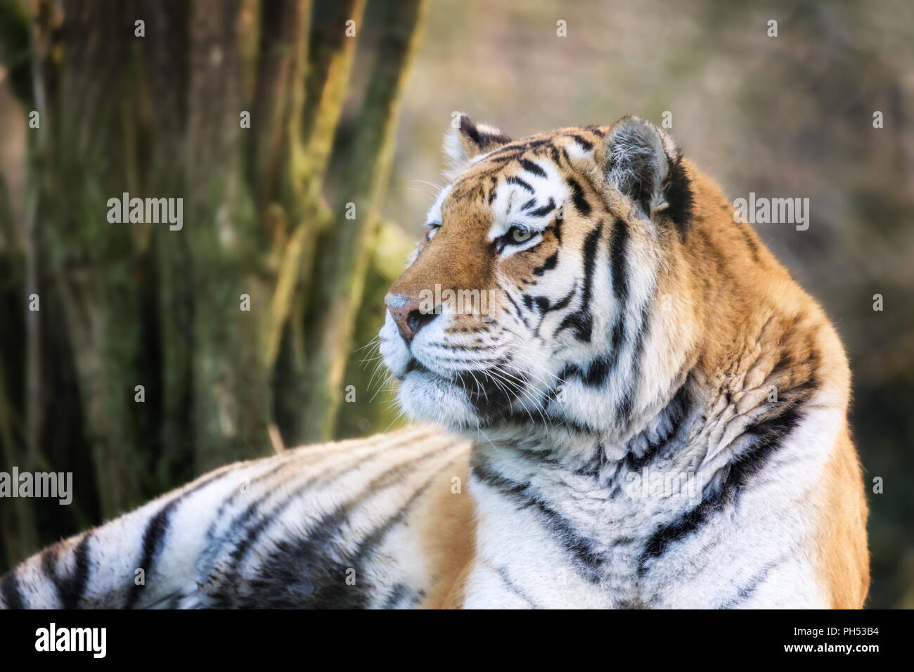 Adult Siberian tiger, Panthera tigris altaica, in afternoon sunlight. This endangered cat is indigenous to Siberia and far eastern Russia. - Stock Image