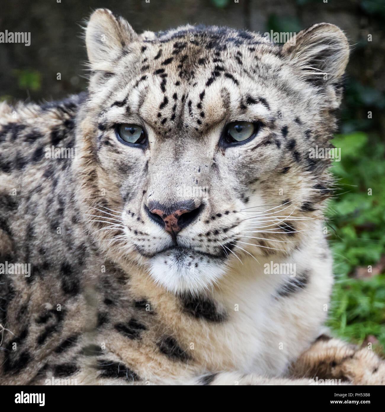 Adult snow leopard close up portrait. - Stock Image