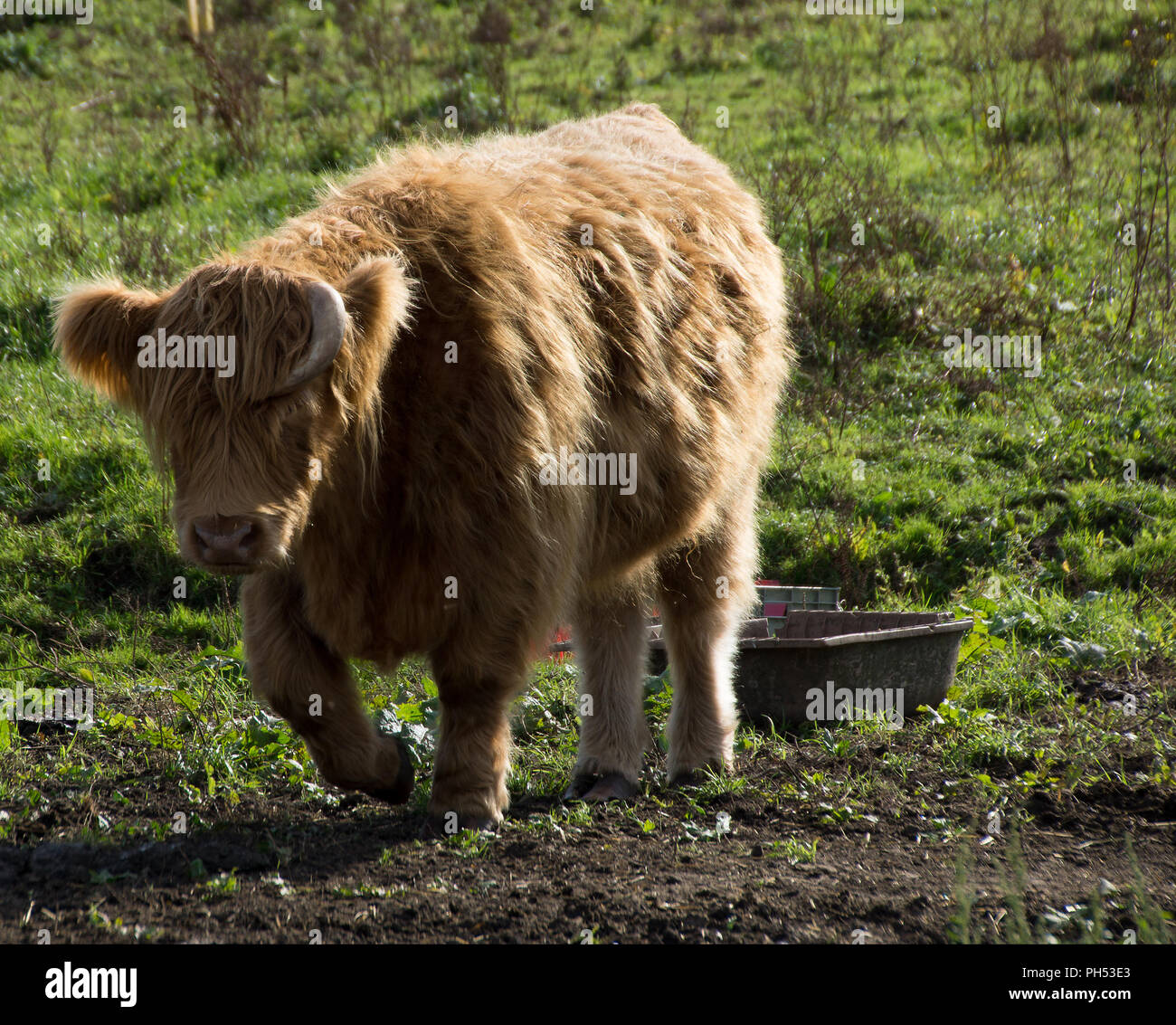 Highland cattle, or Bos taurus, in Sawbridgeworth fields with a thick fur coat in the sunshine - Stock Image
