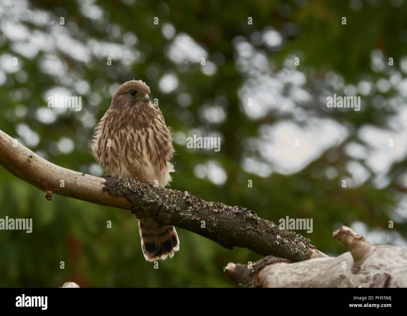 Young fledged female Common Kestrel, Falco tinnunculus, West Lothian, Scotland, UK - Stock Image