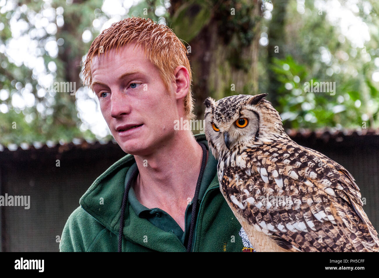A young long eared owl with its ginger haired male handler - Stock Image