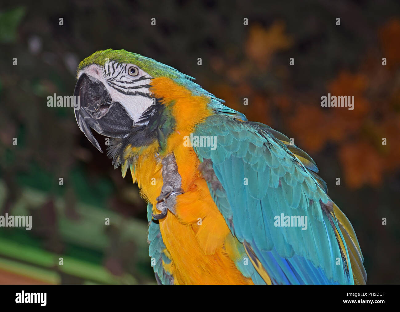 Blue and Yellow Macaw, Sitting on Perch - Stock Image