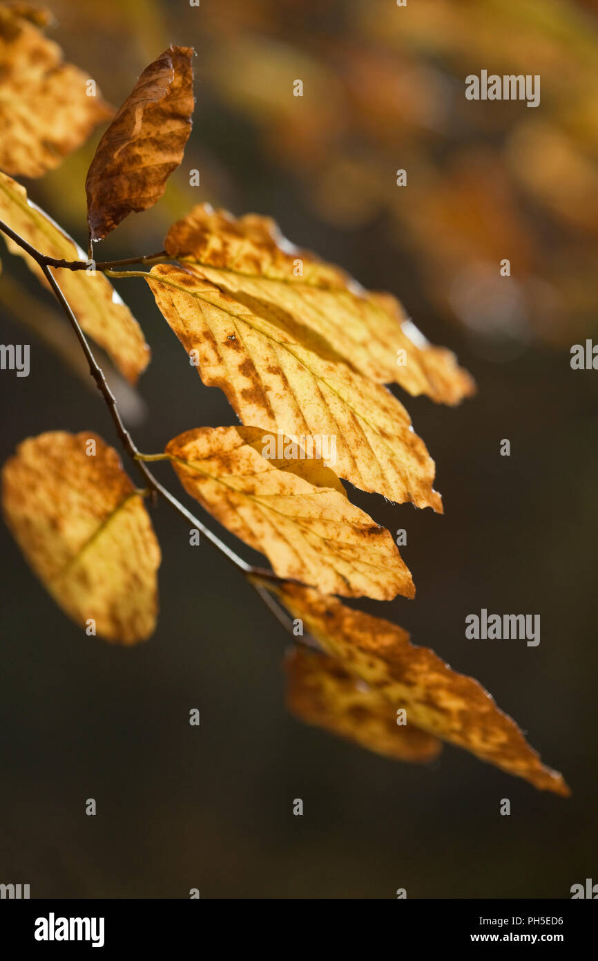 Beech tree Fagus sylvatica, leaves turning colour in autumn. - Stock Image