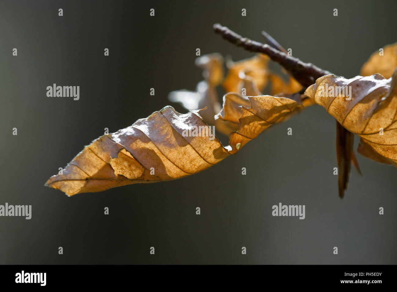 Old Beech Fagus sylvatica leaves. - Stock Image