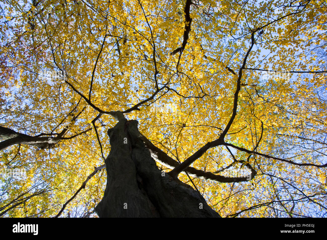 Beech tree Fagus sylvatica, leaf canopy turning to autumn colours photographed from underneath the tree looking up - Stock Image