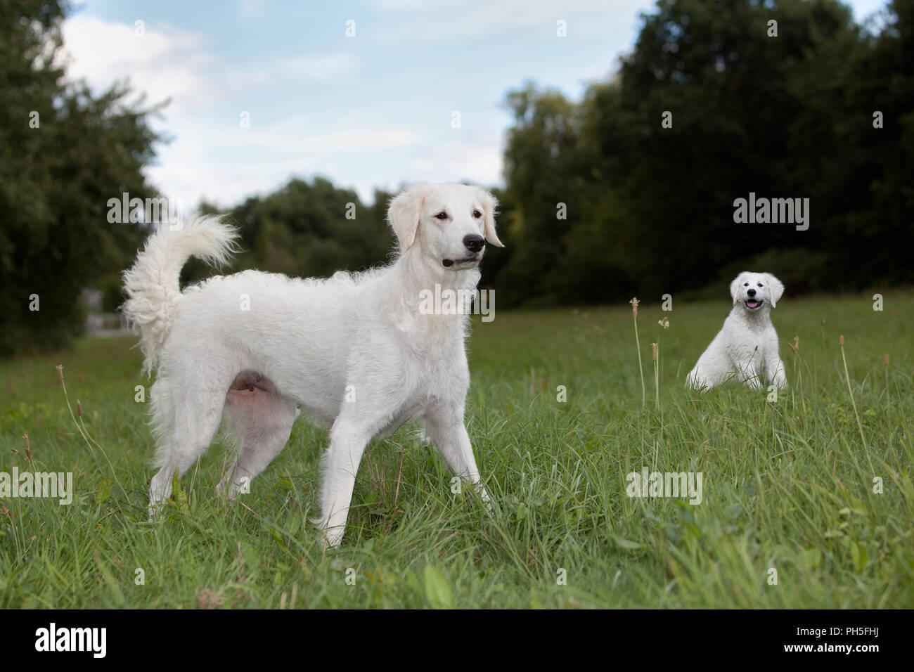 Kuvacz, ungarischer Hirtenhunde, hungarian vcanis lupus familiy pet Herdenschutzhund Muttertier Welpen im Hintergrund - Stock Image