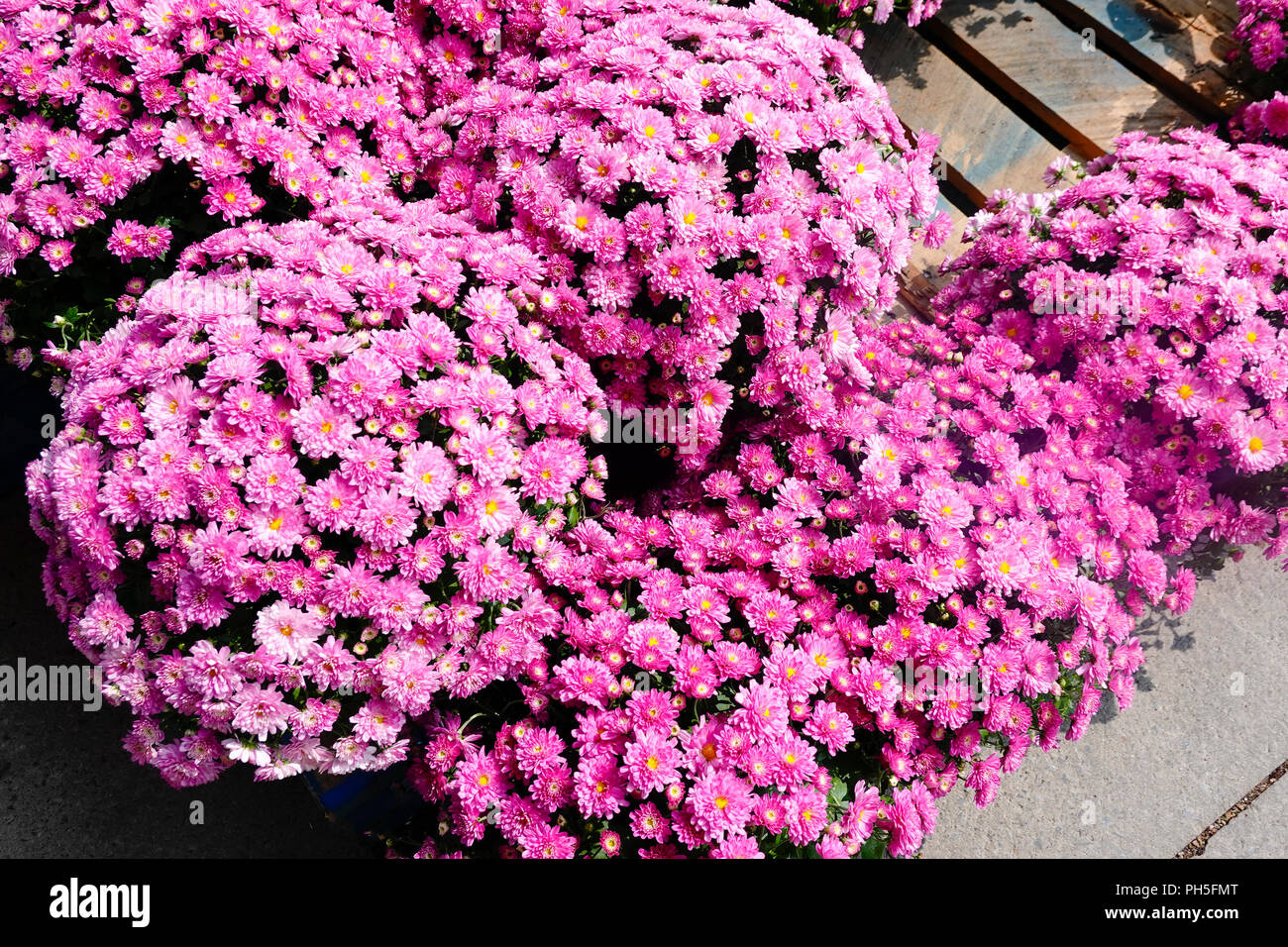 Potted violet garden mums for sale at a Montreal supermarket - Stock Image