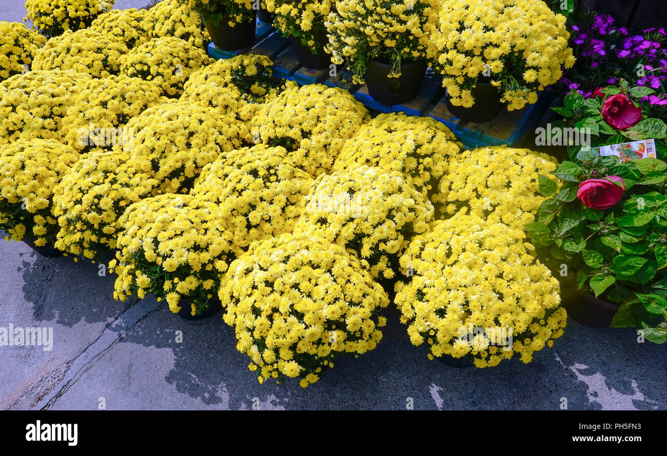 Potted yellow garden mums for sale at a Montreal supermarket - Stock Image