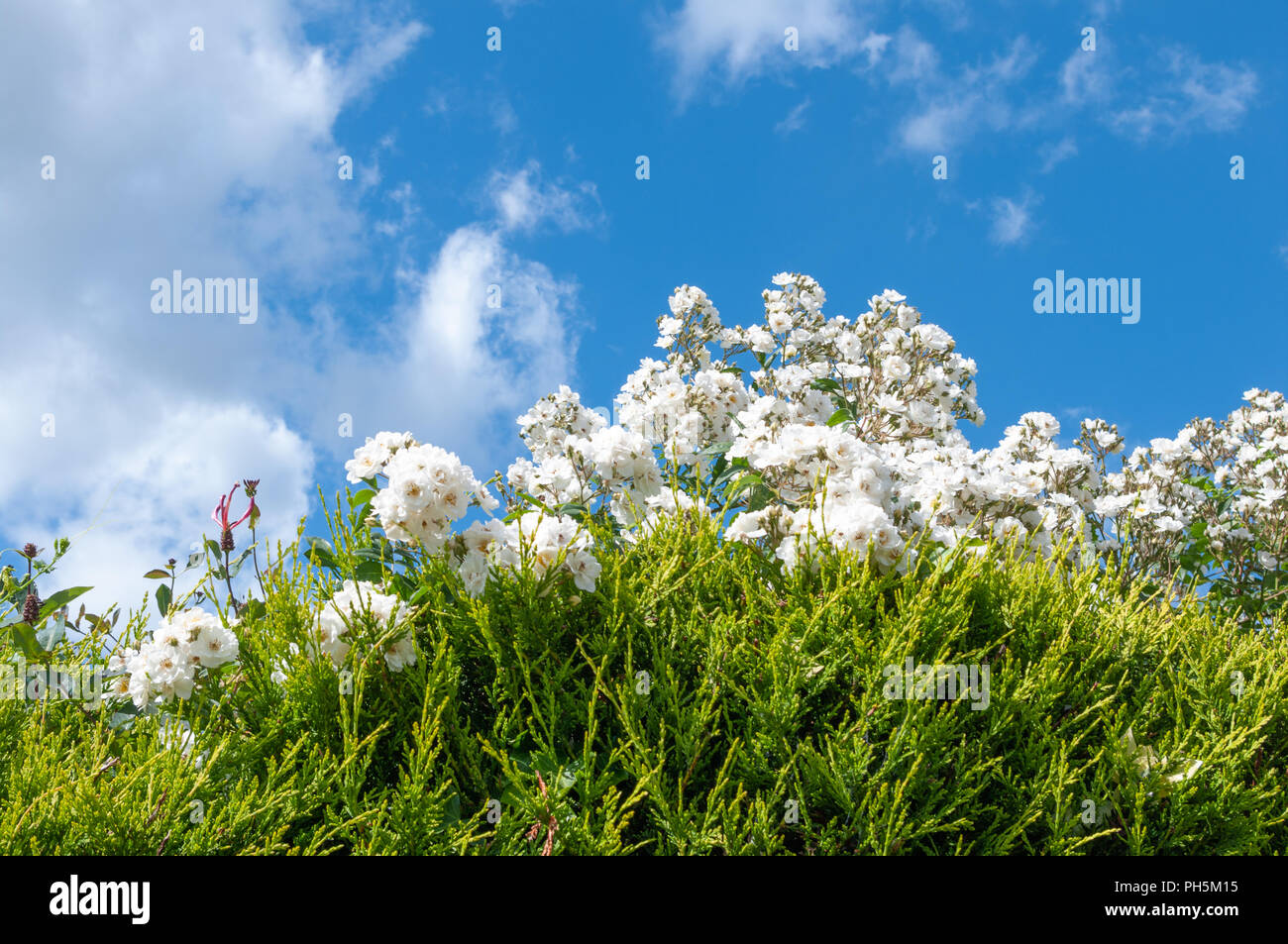 White rambling rose growing over conifer hedge. - Stock Image