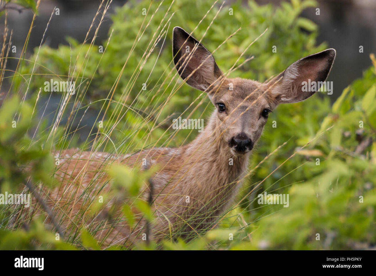 Mule deer fawn on the bank of the Snake River in Hells Canyon National Recreation Area. ROW Adventures. - Stock Image